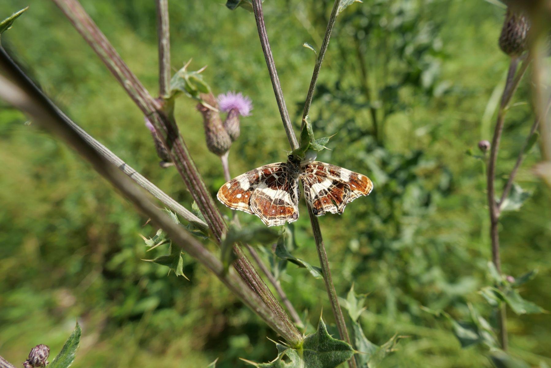 Landkrätchen (Schmetterling)