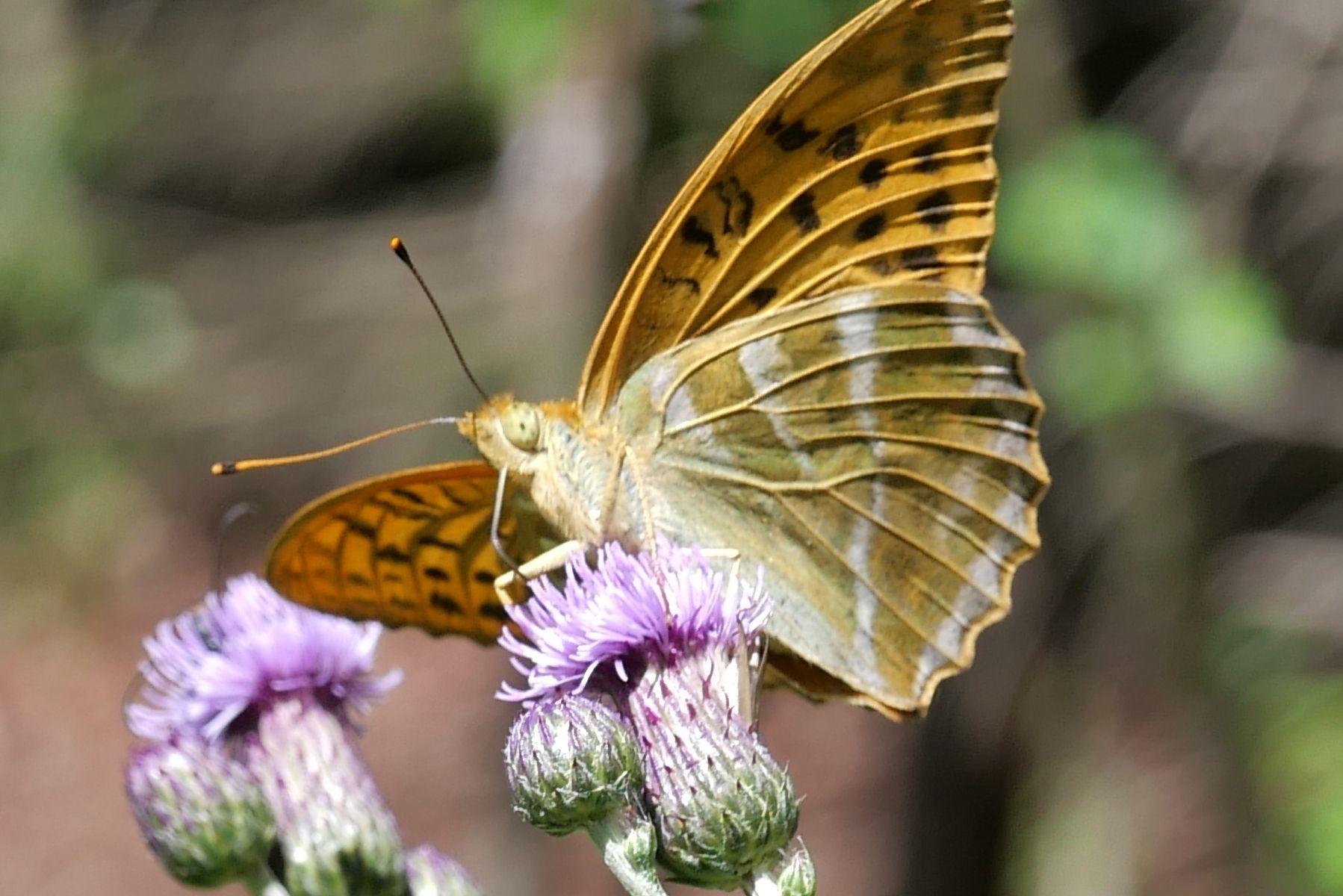 Kaisermantel (Schmetterling)